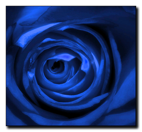 Blue-roses 3